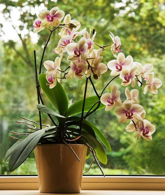 Orchidea - Storczyk