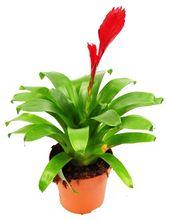 Frizea (Vriesea) christiane