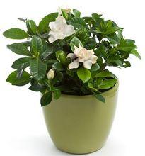 Gardenia kwitnąca