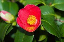 Kamelia japońska - kwiat