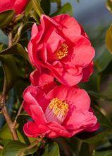 Kamelia japońska - kwiaty