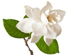 Kwitnąca Gardenia