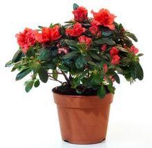 Rododendron (azalia, różanecznik) w doniczce