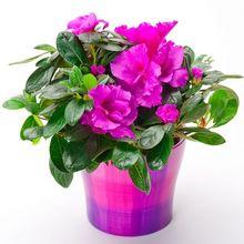 Rododendron (azalia, różanecznik)