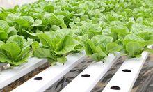 Uprawa hydroponiczna warzyw
