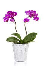 Uprawa Storczyków - Storczyk Falenopsis