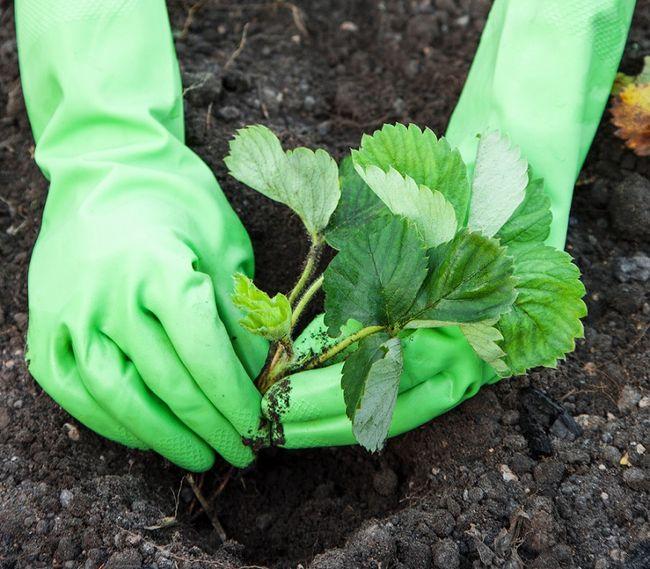 Sadzenie truskawek