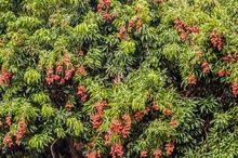 drzewo goji