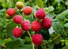 Maliny - owoce