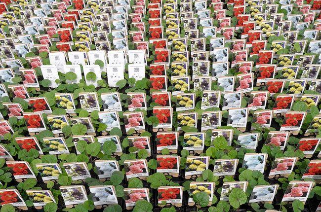 a7a74697f5afda Nasiona malwy - zakup, siew, kiełkowanie, zbiór, przechowywanie i ...