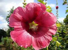 Malwa ogrodowa - kwiat