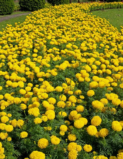 Aksamitki o kwiatach pełnych