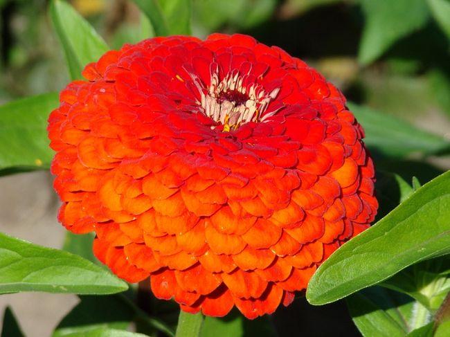 Cynia - kwiat