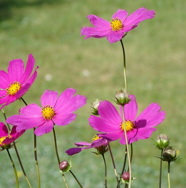 Kwiaty - Kosmos