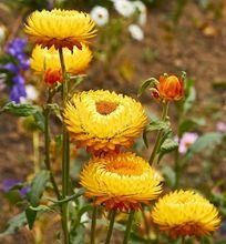 Kocanki ogrodowe - nieśmiertelniki - suchołuski