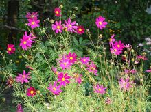 Kosmos - kwiaty
