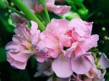 Lewkonia kwiat