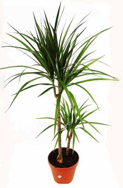 Dracena obrzeżona (Dracaena marginata)