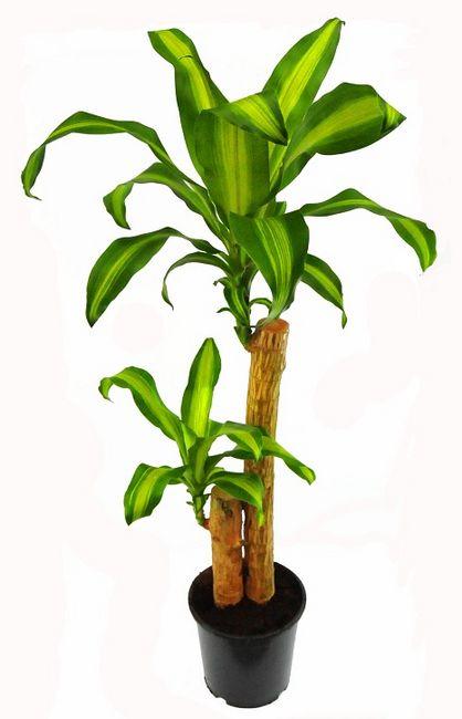 Dracena wonna (Dracaena fragrans)