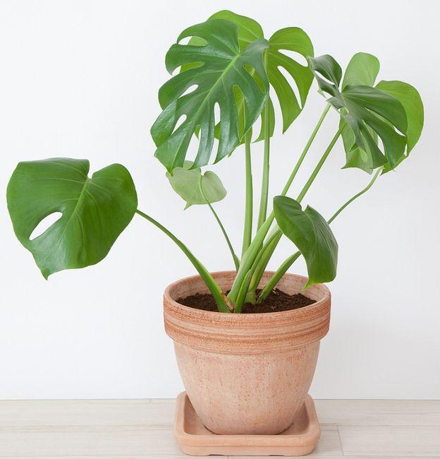 Monstera dziurawa wonna for Plantas decorativas interior venenosas