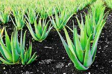 Aloes - uprawa