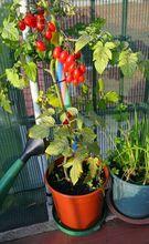 Pomidor doniczkowy