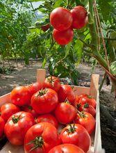 Zbiór pomidorów