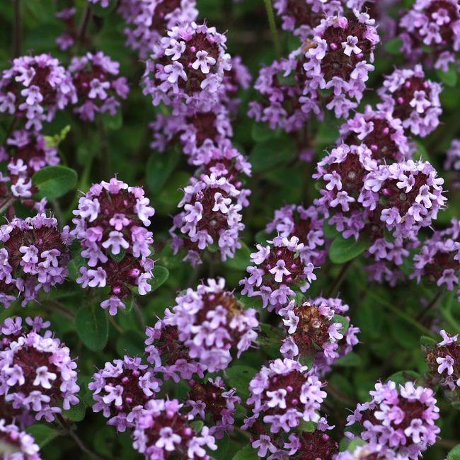 Kwitnący tymianek