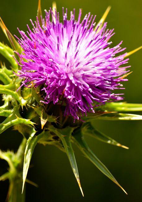 Ostropest plamisty - kwiat