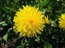 Kwiat mniszka lekarskiego