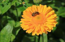 Nagietek - kwiat