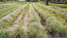 Trawa cytrynowa (Palczatka) - uprawa