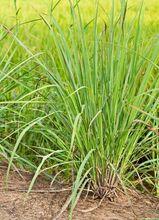 Trawa cytrynowa (Palczatka)