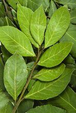 Wawrzyn szlachetny - drzewo laurowe