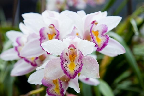 L'orchidea è simbolo di ambizione ed eleganza