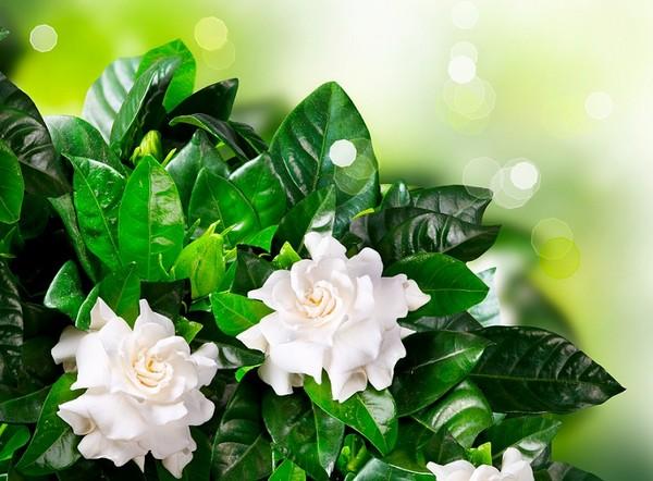 Gardenia Piękny Kwiat Doniczkowy