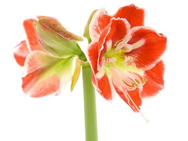 Zwartnica Hipeastrum Popularna Cebulowa Roślina Doniczkowa