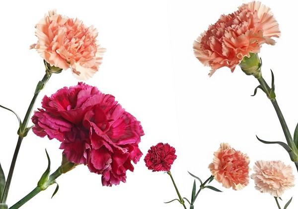 Goździki - popularne kwiaty ogrodowe