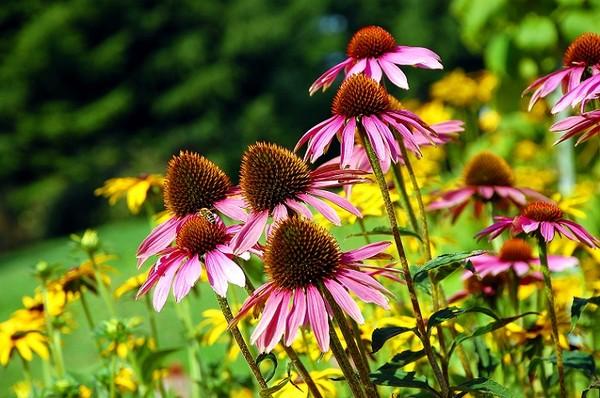 Jeżówka Kwiat Piękny I Użyteczny Leczniczo