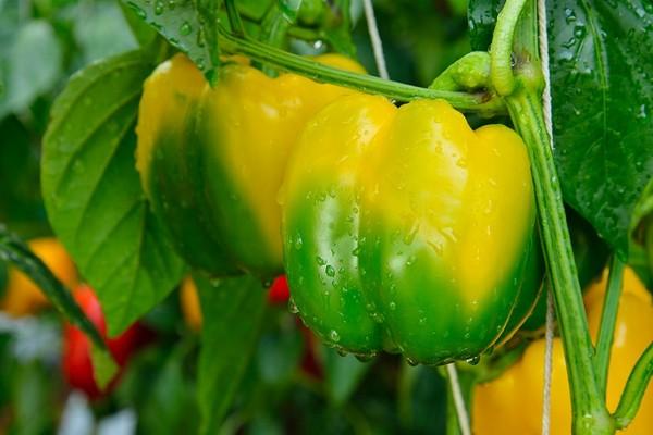 Растущие перцы - требования, саженцы и сорта