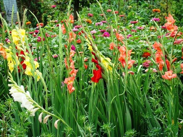 Mieczyki Kwiaty Które Warto Uprawiać W Ogrodzie