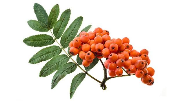 Jarząb pospolity (Jarzębina czerwona) - pospolite drzewo