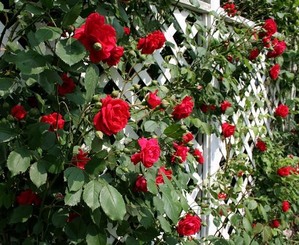 Treja ogrodowy wa ny element ma ej architektury w ogrodzie - Plantas enredaderas de crecimiento rapido ...