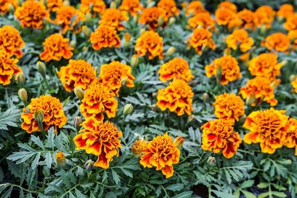 Aksamitka rozpierzchła - sadzenie, uprawa i odmiany
