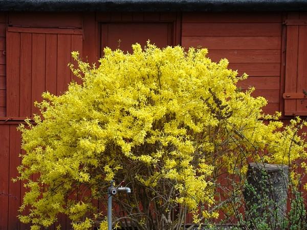 Jak zadbać o krzewy na wiosnę