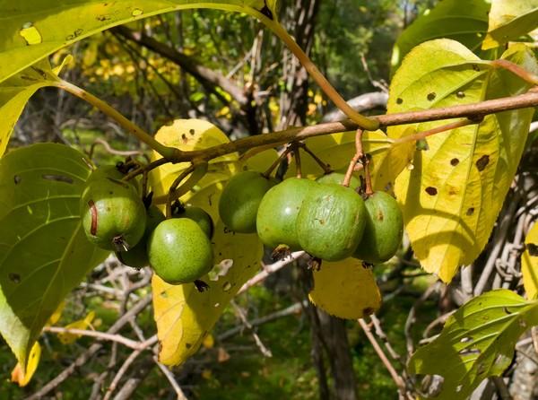 Aktinidia Mini Kiwi Uprawa Odmiany Cięcie I Pielęgnacja