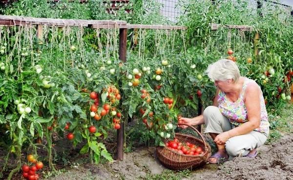 Jakie Nasiona Pomidorów Są Najlepsze Odpowiadamy