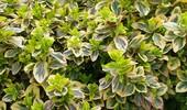 Trzmielina - odmiany i uprawa