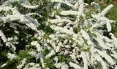 Tawuła - rodzaje, uprawa i pielęgnacja