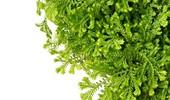 Widliczka (Selaginella) - uprawa i odmiany